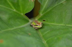Green and Brown Frog on Rhubarb Leaf