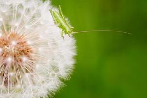 Dandelions and grasshopper photo