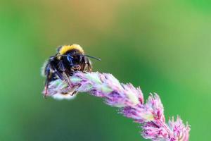 Bumblebee photo