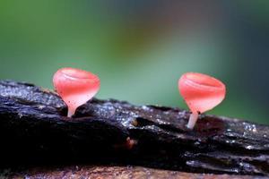 hongo rojo