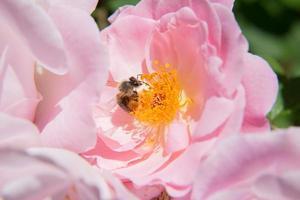 Biene auf einer Bauernrose