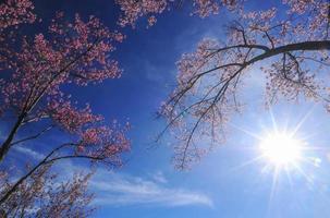 árvore flor de cerejeira