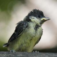 Young titmouse