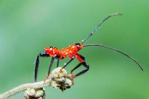 Red Assassin bug nymph