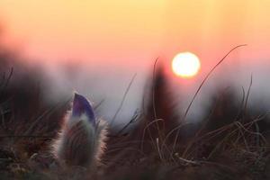 Spring flower Pasqueflower- Pulsatilla grandis, sunrise.