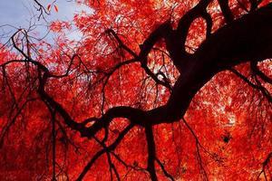 árvore de bordo vermelho outono