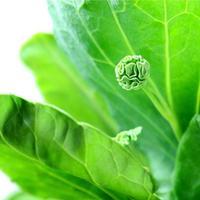 Fresh Kale (Brassica alboglabra). photo