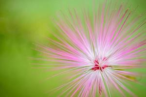 Pink red powder puff flower blooming