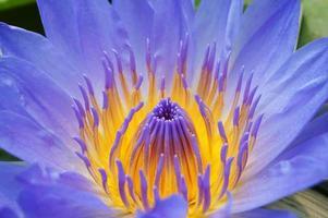 close up of purple lotus.