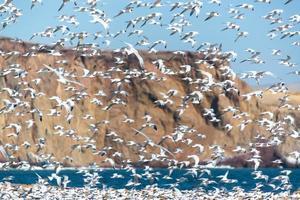 Elegant Tern Flock photo