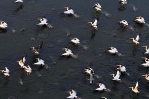 Vuelo sincrónico de pelícanos blancos sobre el lago Manych