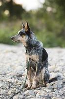 cachorro de heeler azul