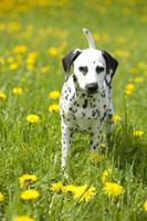 Dalmatian puppy in the meadow with flowers