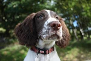 close up of a cute working type english springer spaniel