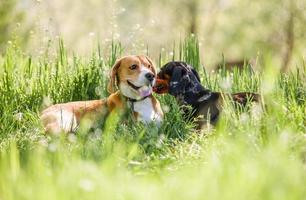 Two purebred dogs lying together on green lawn