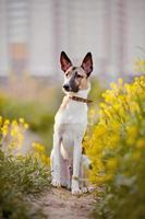 Dog sits in yellow flowers. photo