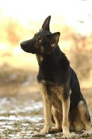 beautiful and young german shepherd dog puppy in sunset background