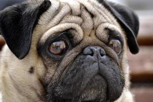 Close up portrait of a Pug in the street photo