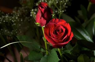 Deep red roses with baby breath photo