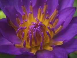 Lotus Purple photo