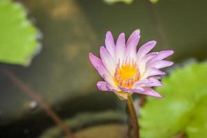 flor de loto en chiangmai tailandia