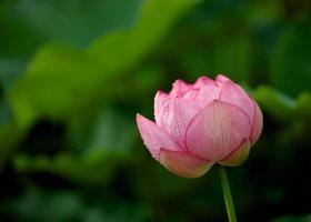 botão de lótus rosa