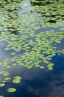 lótus no pântano