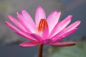 Single Pink Lotus Flower