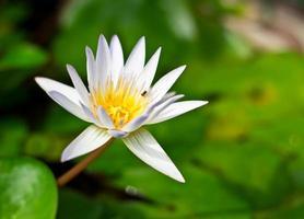 flor de lótus branca