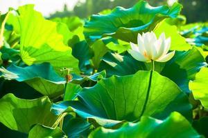 flor de loto blanco