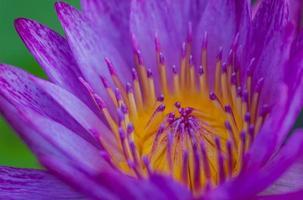 loto púrpura en tailandia.
