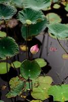 Ping Lotus in pool