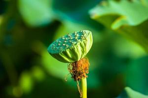 fruto del loto