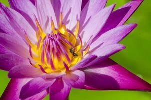 Beautiful pink lotus flower blooming