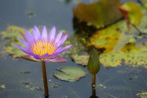 Purple lotus in the marsh photo