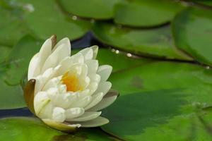 la hermosa flor de loto floreciente