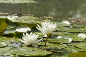Lotus flowers on a background of green nature