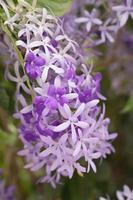 Purple wreath fllower