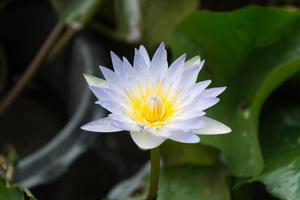 Beautiful lotus in the lotus garden