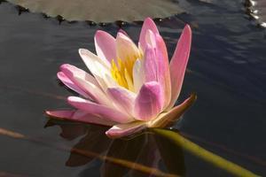 Pink waterlily flower. (Lotus)