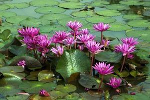 Red Lotus Flower, Thailand