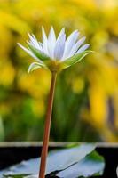 hermosa flor de loto blanca