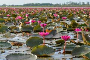 "lótus rosa no pântano de lótus na província ""talay-noi"" pattalung, thaialnd"