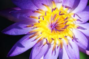 close-up da flor de lótus colorida