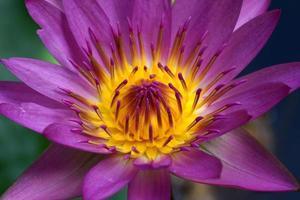 Pink Lotus flower, waterlily.