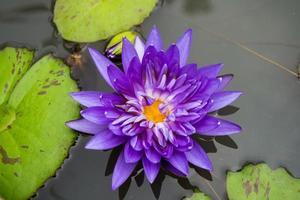 Lotus flowers are mauve photo