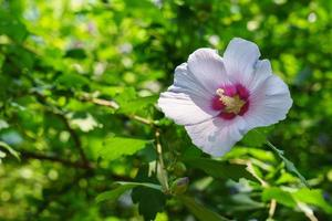 Hibiscus syriacus photo