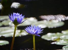 Blue-yellow lotus bloom like oil paint .