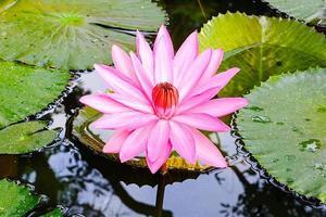 primer plano rosa nenúfar o flor de loto.