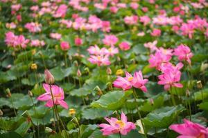 field of blooming beautiful lotus flowers